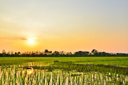 Planting rice  in light evening  Stock Photo