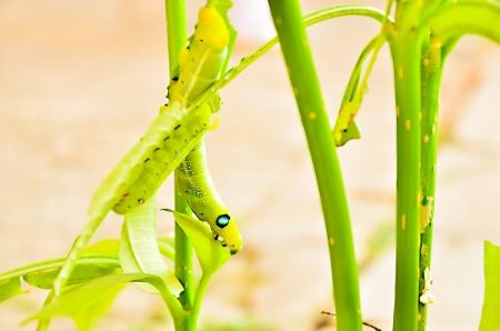 deilephila: Caterpillars eat leaves  Stock Photo