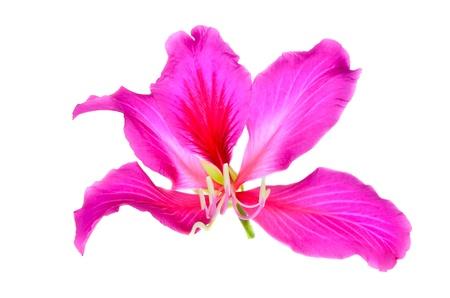 Purple Bauhin on white background