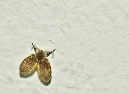 tiny moth fly on wall, macro crop