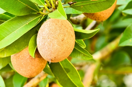 Sapodilla fruta en el �rbol photo
