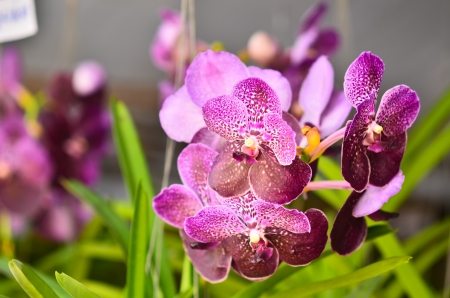 Orchid Hybrids blooming photo