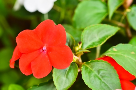 Vinca flower Stock Photo - 17799654