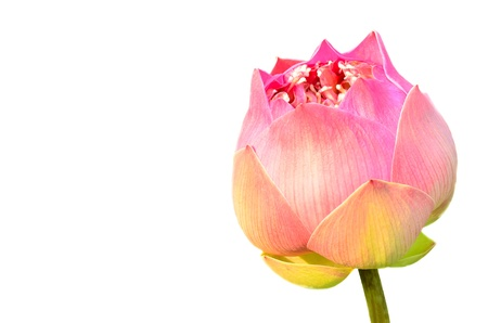 Blooming lotus on white background photo