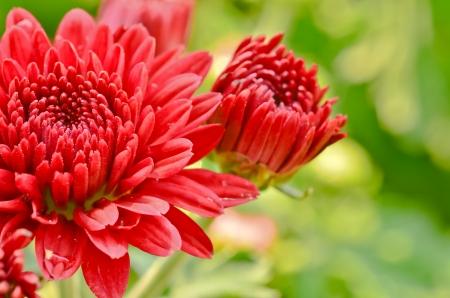 red chrysanthemums photo