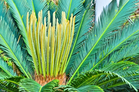 The cycads.