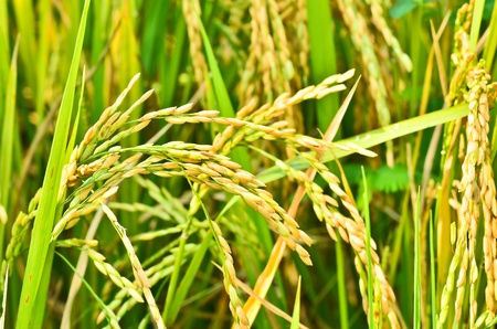 rice to harvest photo