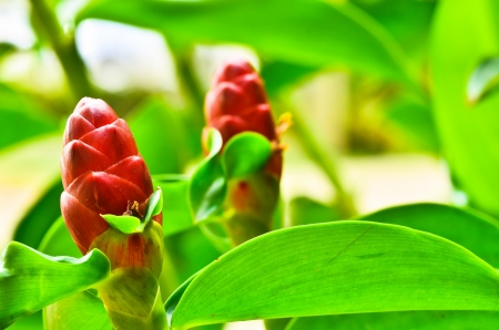Tropical Red Ginger photo