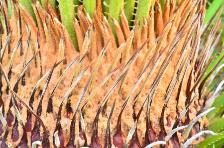 cycadaceae: neck of the cycads