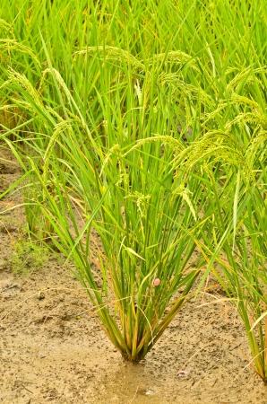 rice plant photo