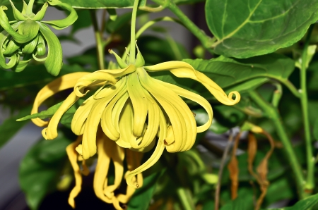 Ylang-Ylang flower on tree Stock Photo