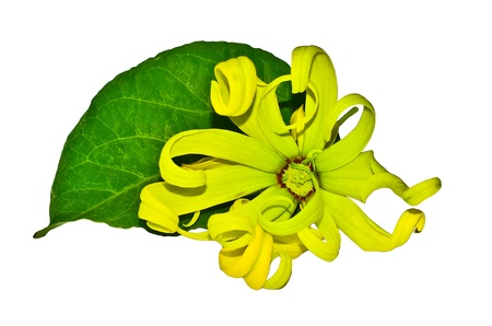 odorous: Ylang-Ylang flower on white background Stock Photo