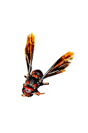 paper wasp: Paper wasp on white background