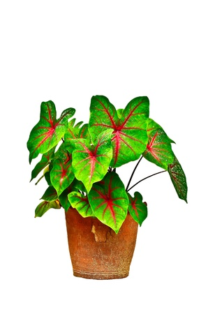 Caladiums in pot