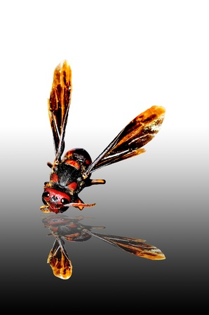paper wasp: Paper wasp and reflection
