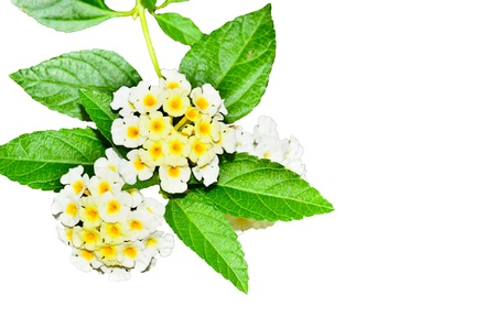 Lantana flowers on white background Stock Photo