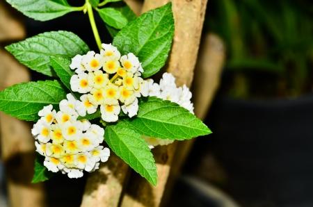 lantana: White Lantana flowers