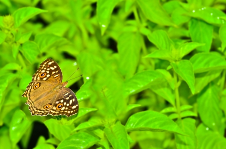 Butterfly eating from white flower of basil photo