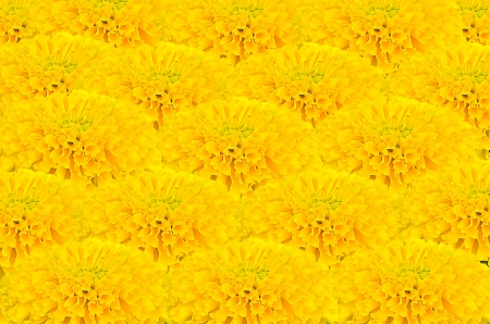 Marigold flower background photo