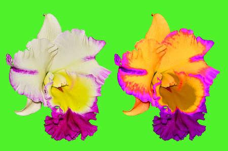 cattleya: Cattleya Orchid on green background