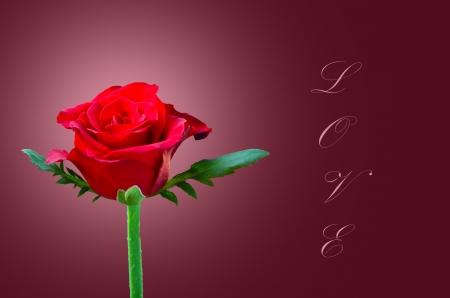 Beautiful red rose love photo
