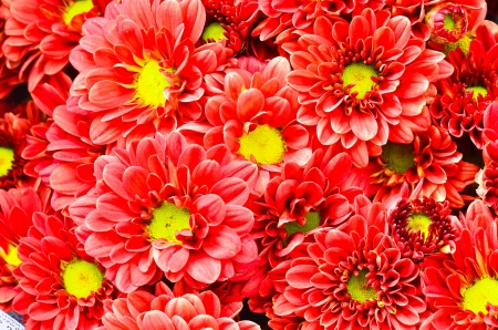 Beautiful Red chrysanthemum