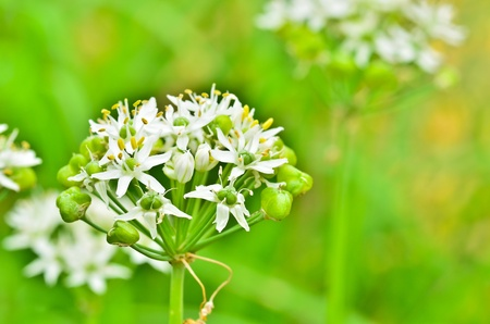 wild garlic flowers photo