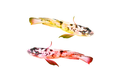 koi fishes isolated on white