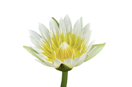 water lily blossom on white  photo
