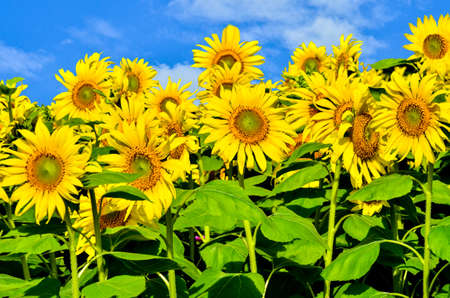 Yellow sunflowers on blue sky photo