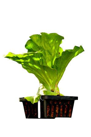 platycerium: Platycerium hanging in pots Stock Photo