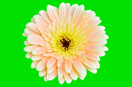 gerbera on green background photo