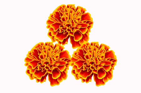 Three Orange marigolds isolate on white background