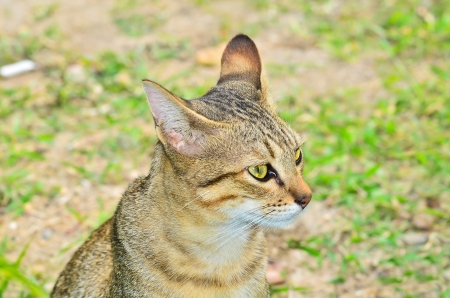 Bengal cat looking photo
