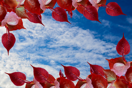 Red Pho leave buds on blue sky photo