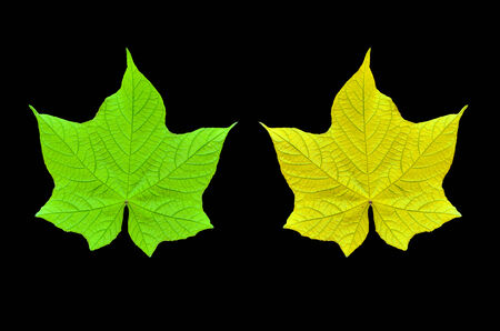 Green and yellow leaf on black background