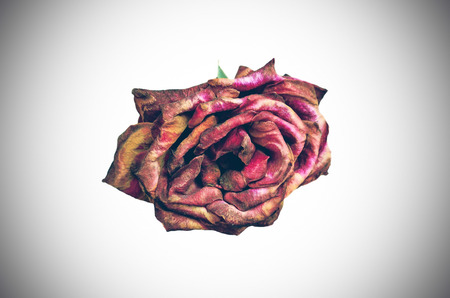 beautiful dry red rose on white background photo
