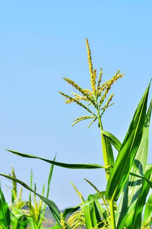 corn flower: Corn flower