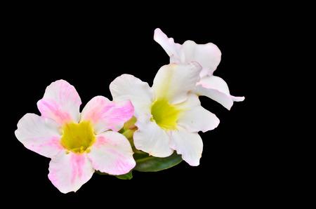 White Desert Flower on black background photo