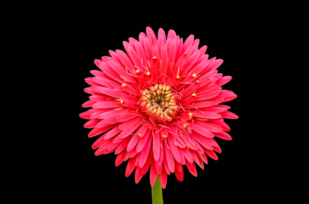 red gerbera flower on black background photo