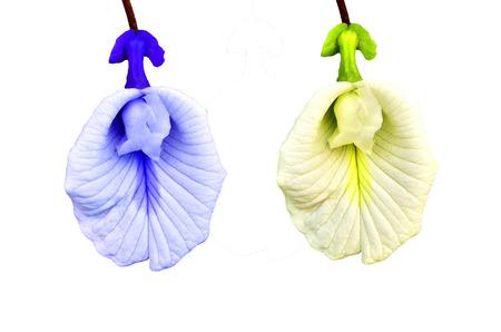 faboideae: bianco e blu di fiori di pisello su sfondo bianco Archivio Fotografico