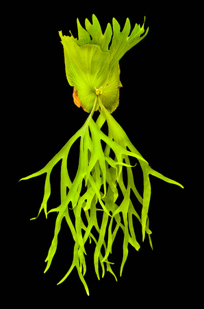 staghorn fern: Crown Staghorn on black background