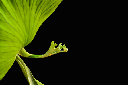 staghorn fern: green Crown Staghorn on black background