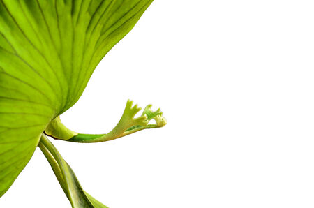 staghorn fern: green Crown Staghorn on white background