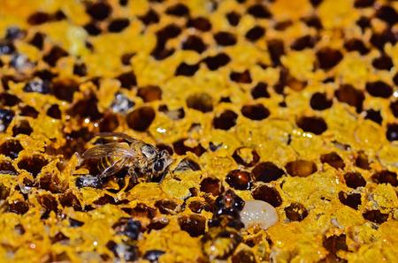 yellow beautiful honeycomb with honey and bee photo