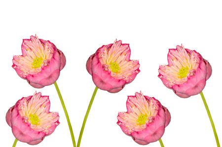Twain pink water lily flower on white background photo