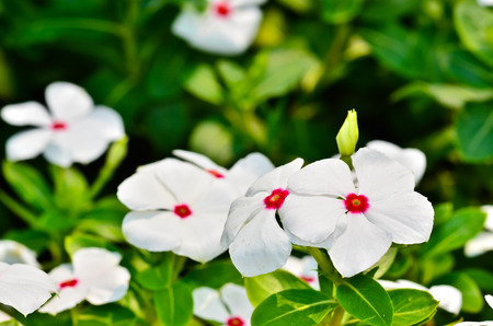 five petals: Catharanthus roseus blooming in the garden