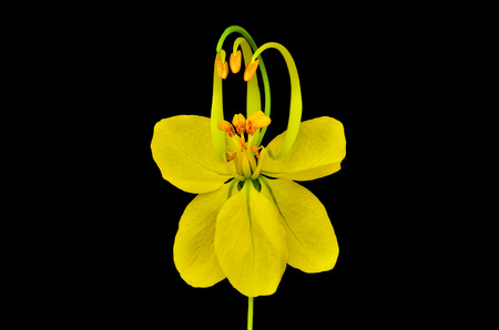 fistula: Cassia flower on black background