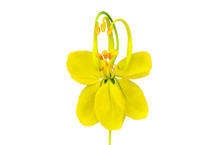 Cassia flower on white background photo