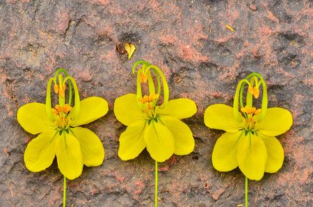 cassia: Cassia Flower Stock Photo